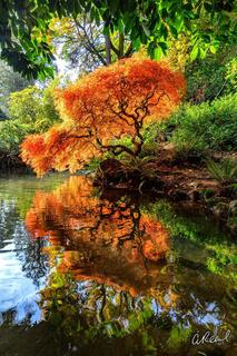 Fine Art, Mirror, Limited Edition, Reflection, Optical, Illusion, Japanese Maple Tree, Seattle, Washington
