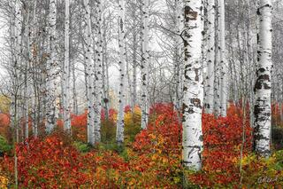 Echoes of Fall | White Aspen Trees in Fog With Red Ground Foliage | Tree Photography for Sale by Aaron Reed