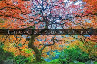 Dragon's Breath | Japanese Maple Tree With Rainbow Colored Leaves on a Foggy Morning | Fine Art Photography for Sale by Aaron Reed