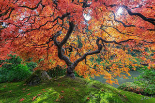 Heaven's Gate | Japanese Maple Tree Photograph for Sale by Aaron Reed