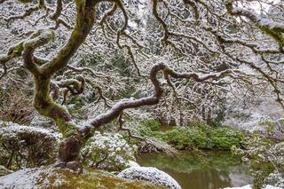 A photograph of a Japanese maple tree with no leaves covered in snow in the winter.