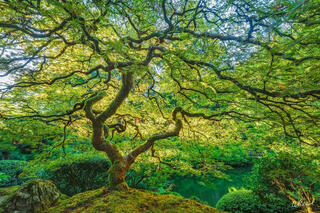 A photograph of a green Japanese maple tree backlit by the sun with golden light shining through.