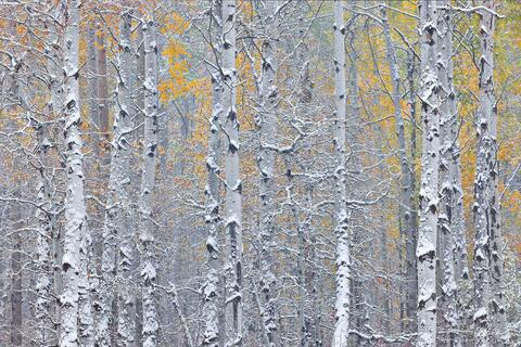 Aspen And Birch Tree Nature Photography In Colorado