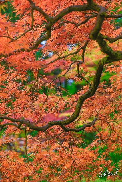 Bokeh, Tree, Maple, Light, Fine Art, Limited Edition, Nature, Colors, Seattle, Washington