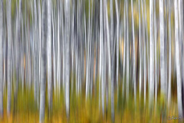 Aspen, Fine Art, Limited Edition, Colorado, Trees