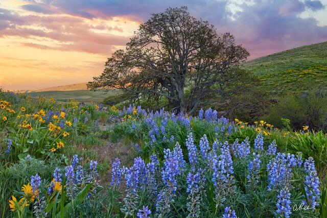 A Photo of a Large Tree Growing in an Open Field of Wildflowers Against a Sunset in the Background | Tree Photography for Sale by Aaron Reed