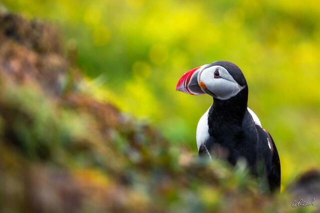 Vik, Iceland, Puffin, Bird, Fine Art, Limited Edition