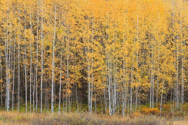 Autumn, Leaf, Colors, Foliage, Fine Art, Limited Edition, Yellow, Leavenworth, Washington