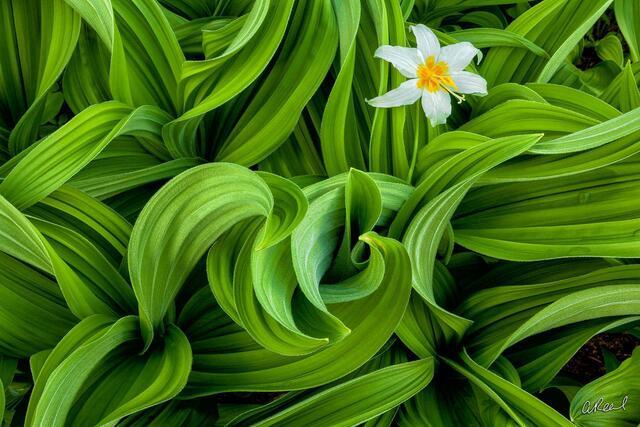 Hellebore, false, lilies, flowers, fine art, limited edition, mt rainier national park, washington, abstract