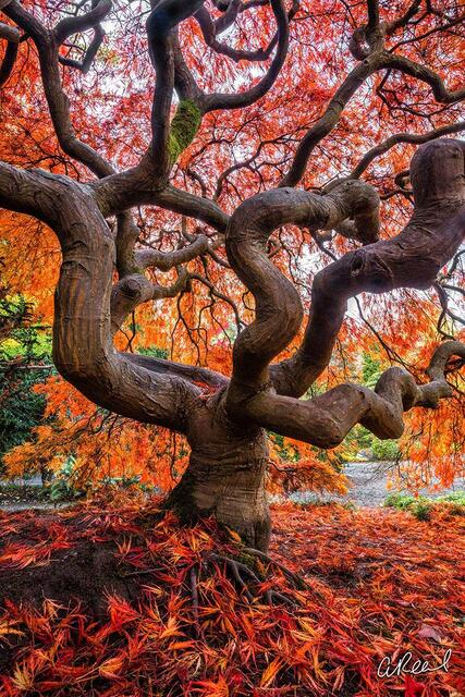 Fine Art, Limited Edition, Seattle, Kubota, Garden, Japanese Maple Tree, Tree,