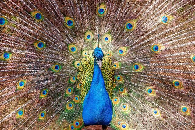 Peacock, Male, Feathers, Colorful, Fine Art, Limited Edition, Issaquah, Washington, Abstrct
