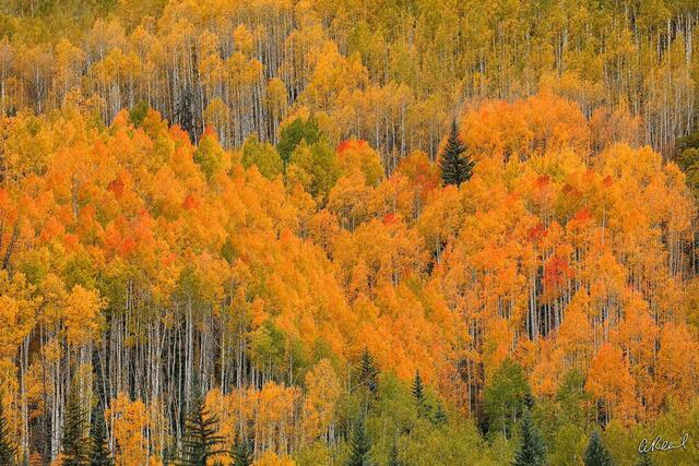 Telluride, Forest, Canyon, Trees, Aspen, Fine Art, Limited Edition, abstract