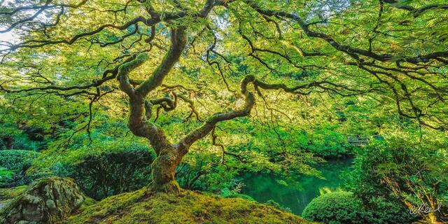 portland, Oregon, fine art, limited edition, dragons breath, Aaron Reed, Japanese Maple, Tree Of Life,