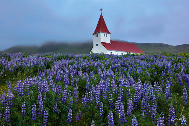 Vik, Church, Lupine, Iceland, Blue
