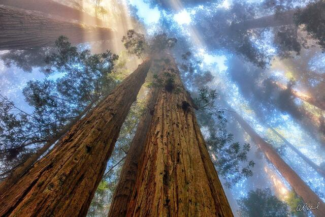 Trees, Redwoods, California,