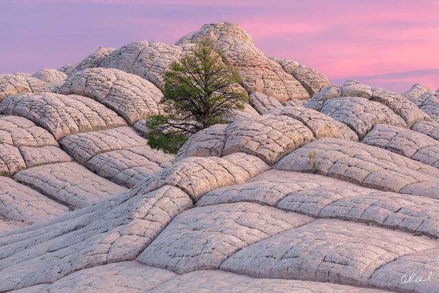 Vermillion Cliffs, White Pocket, Tree of Wisdom, Tree