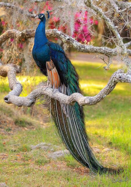 peacock, Charleston, South Carolina,