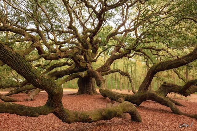 A large angel oak tree located in Charleston South Carolina with branches spread in every direction.