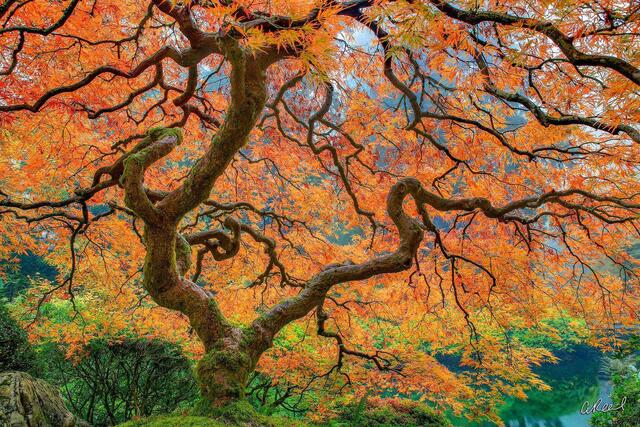 A photograph of a a Japanese maple tree with orange leaves on a foggy morning in a garden.