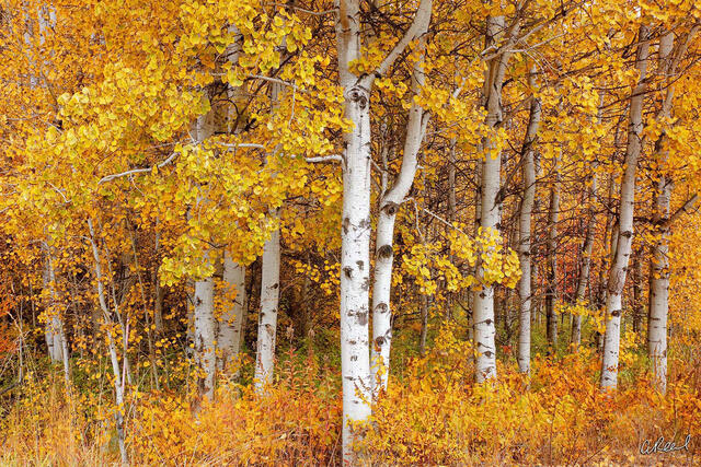 A photograph of five small aspen trees with golden leaves.