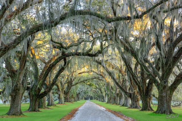 A photograph of an oak tree lined driveway on a plantation.