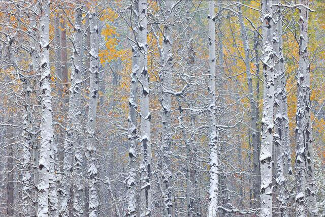 A photograph of aspen trees in autumn with a fresh dusting of snow on their trunks.