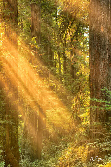 A photograph of redwood trees with golden shafts of sunlight.