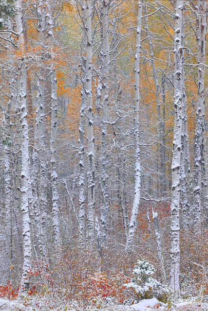 A forest of aspen trees with autumn leaves and a dusting of fresh snow.