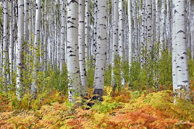 A forest of aspen trees mixed with green and yellow fern on the forest floor.