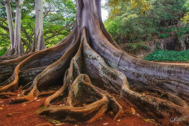 A large tree with green leaves and roots exposed above ground that twist and turn.