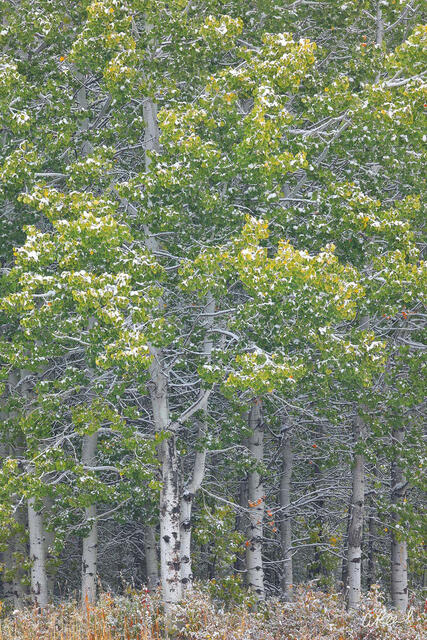 A photograph of aspen trees with green leaves and a dusting of snow.