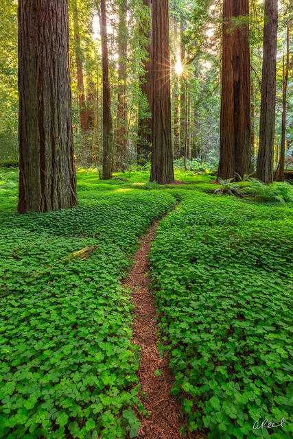 A forest filled with large redwood trees and a forest floor covered in green clover.