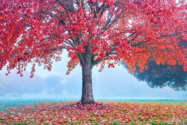 A single red tree on a foggy morning in a park.