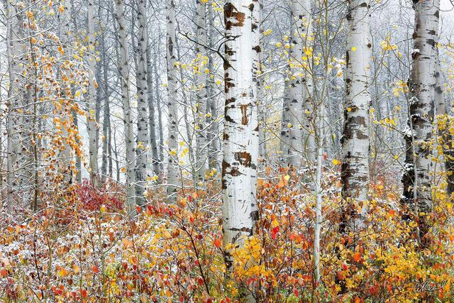 A photograph of aspen trees without leaves and yellow bushes underneath them.