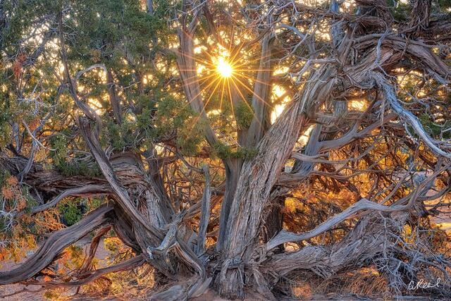 A Photo of the Sun Shining Through a Large Tree in the American Southwest | Tree Photography for Sale by Aaron Reed