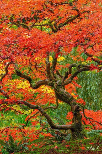 A photography of a Japanese maple tree with a curvy trunk and red leaves.