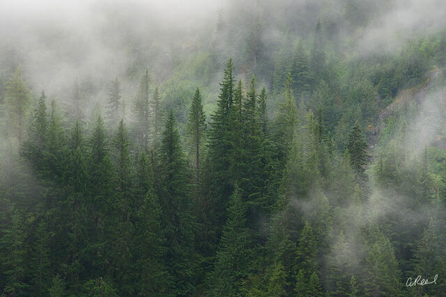 A fine art photograph of a forest of evergreen trees and whisps of fog.