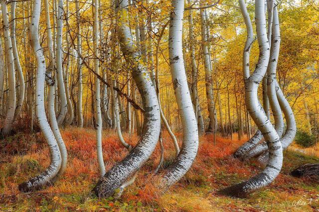 A photograph of aspen trees with curvy trunks during autumn.
