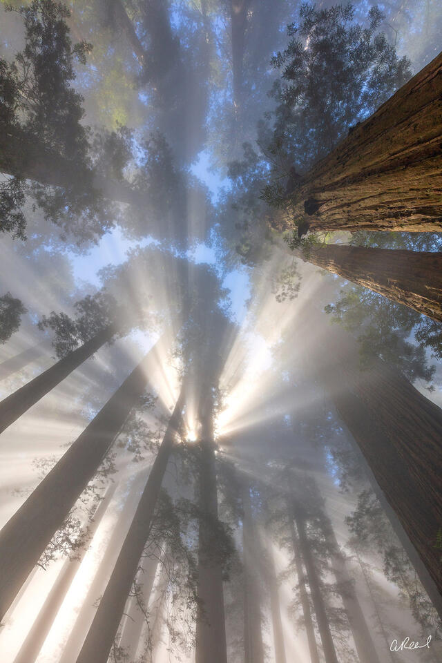Light Beams And Fog In Damnation Creek Redwoods Forest.