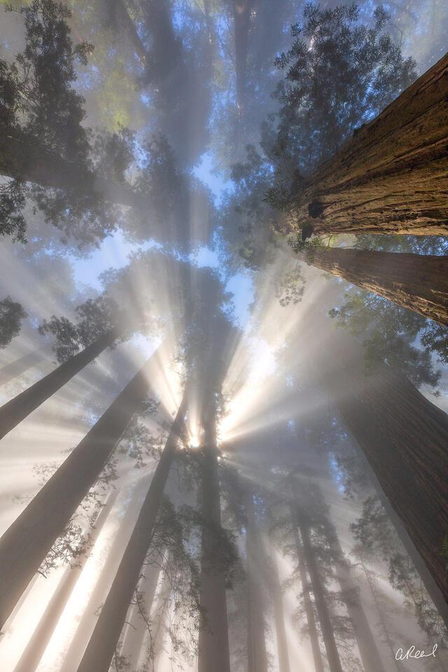 Redwoods, Trees, Damnation, Creek, Fine Art,