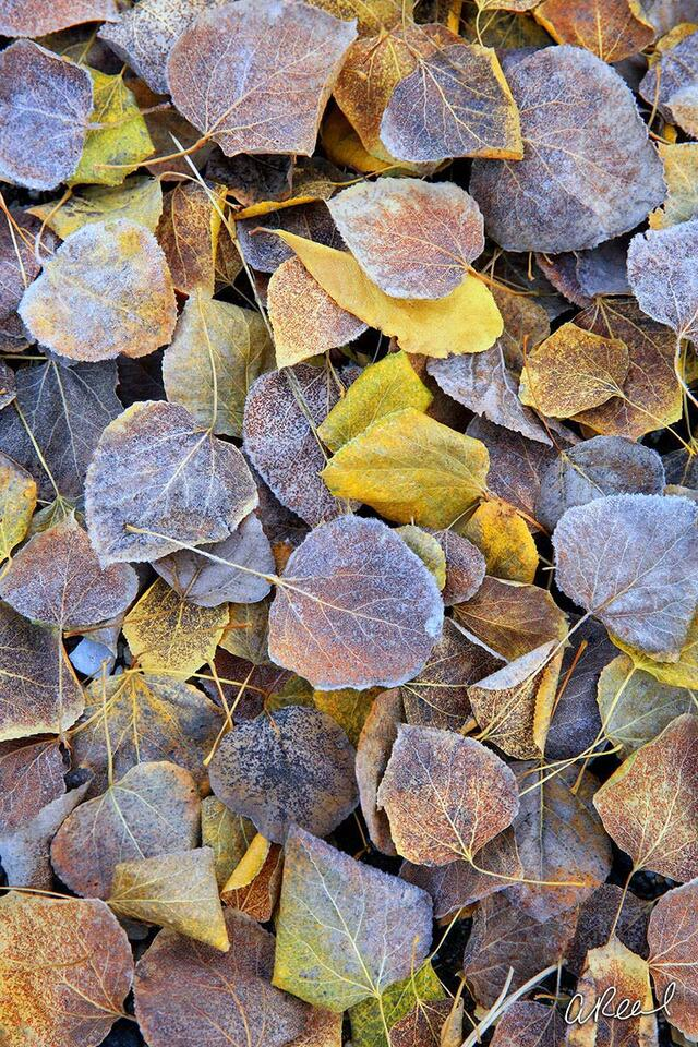 Fine Art, Limited Edition, Leaves, Frosted, Leavenworth, Washington,