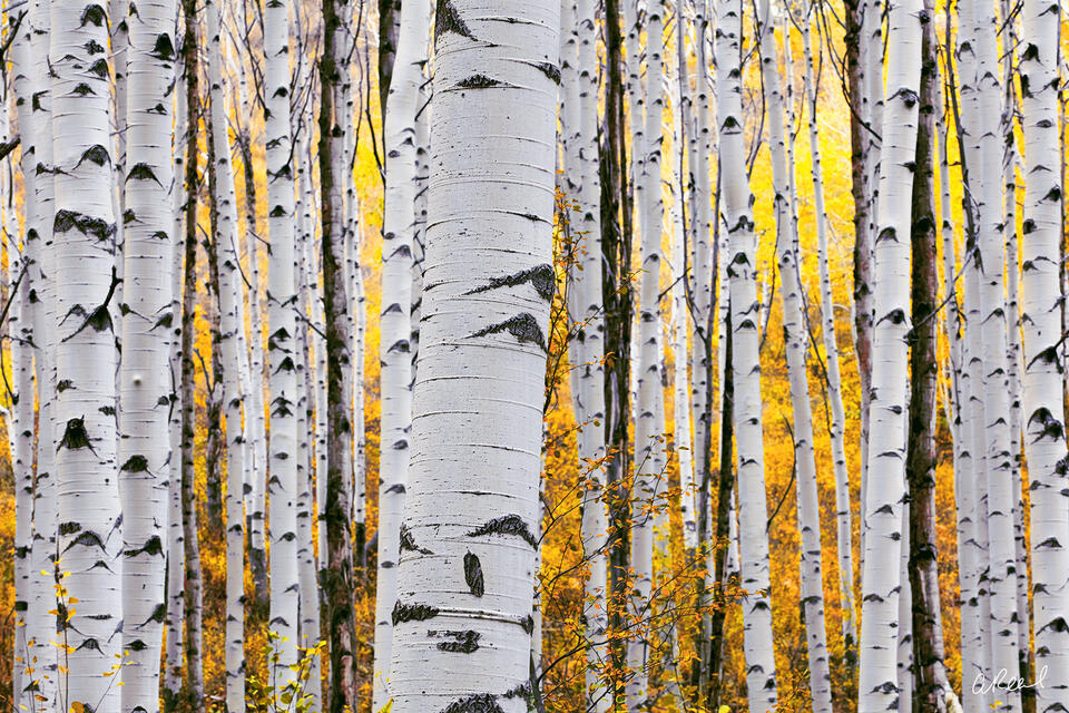 Aspen Tree, Colorado, Telluride, Lemon, Twist, Fine Art, Limited Edition, Trunk, Forest, Roots,