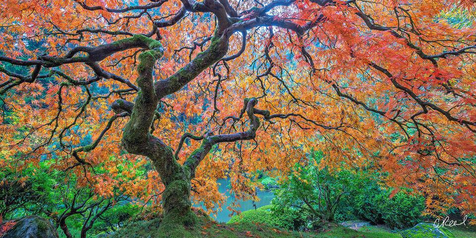Famous Maple Tree Portland Garden panoramic picture for sale