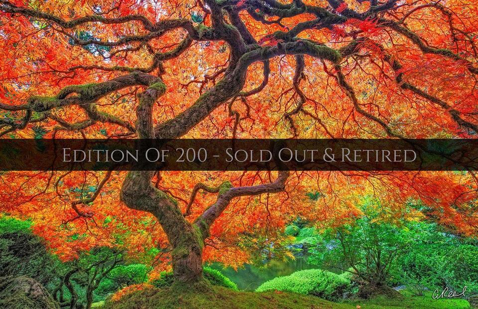 living lighting, Aaron reed, limited edition, fine art, Portland Oregon, Japanese maple,