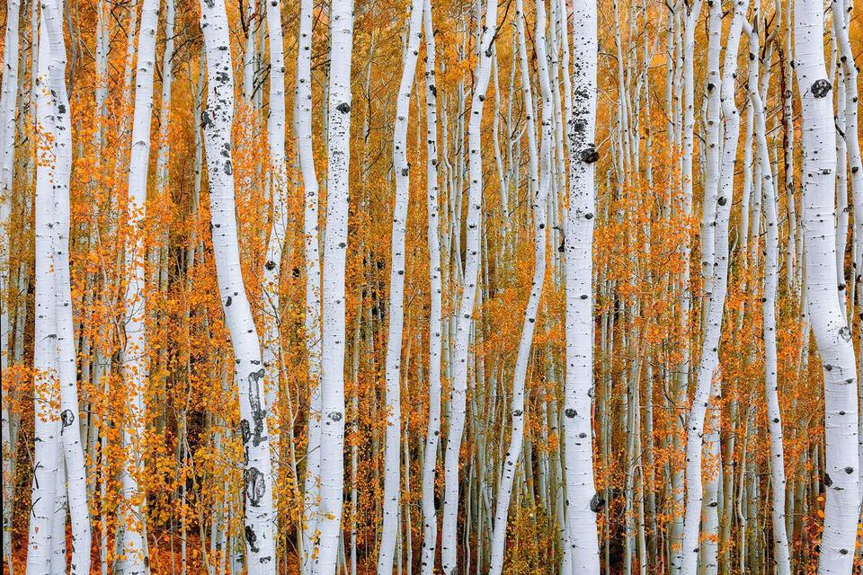 Aspen, Trees, Fine Art, Limited Edition, Orange, Crush, Quaking, North America, quake, tremble, branches, trunk, Telluride, Colorado, Autumn, Fall Color