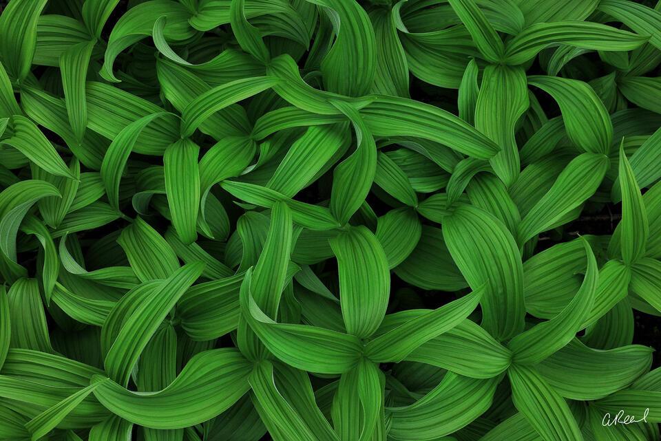 Hellebores, Corn Lily, Rainier, National Park, Abstract, Green, Summer, Washington,