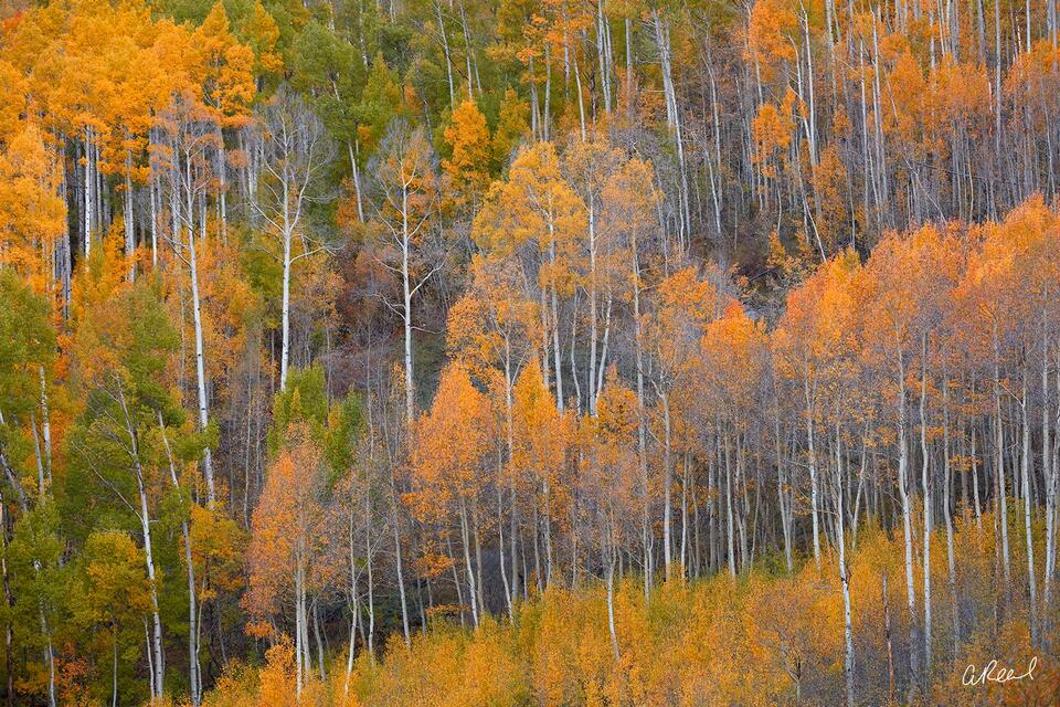 A photograph of a hillside covered in aspen trees with orange, red and yellow leaves.