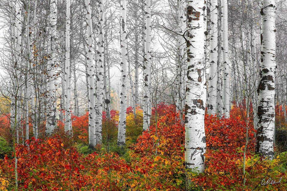 A photograph of white aspen trees in fog with red ground foliage located near Leavenworth Washington.