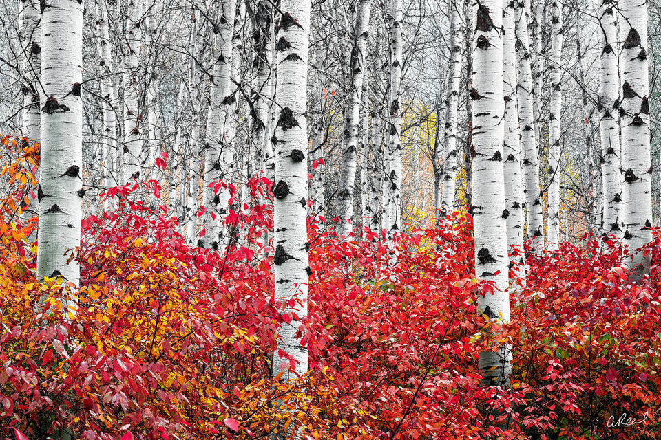 A photograph of close up aspen tree trunks with red bushes below them.
