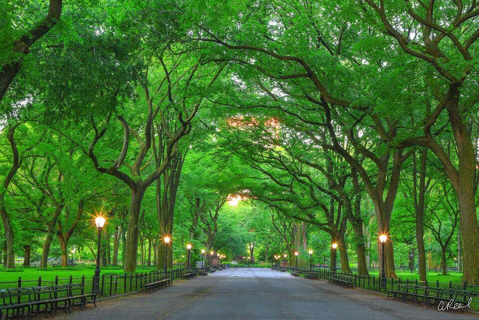 A tunnel of live oak trees with fresh spring greens inside Central Park in New York City.